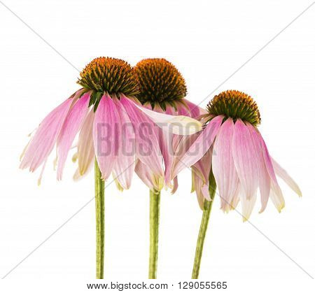 Echinacea flower on a white backgroundk, purple, spring, summer,