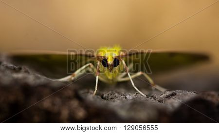 Brimstone moth (Opisthograptis luteolata). Yellow insect in the family Geometridae seen head on
