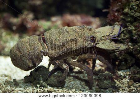 Mediterranean slipper lobster (Scyllarides latus). Wild life animal.