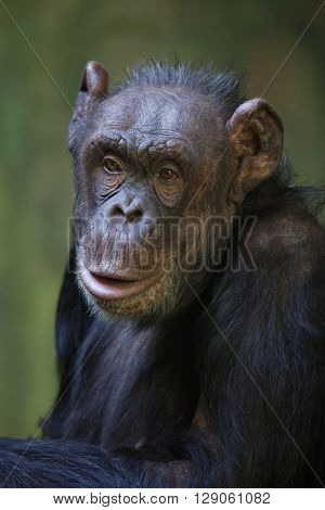 Common chimpanzee (Pan troglodytes), also known as the robust chimpanzee. Wild life animal.