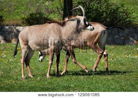 Roan antelope (Hippotragus equinus). Wild life animal.
