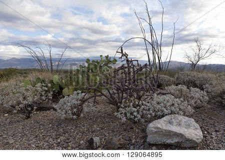 Sonoran desert vegetation of East division of Saguaro National Park holds ocotillo prickly pear cholla brittlebush and more. It has views of the Rincon Mountains to the east and the Catalina Mountains to the north.