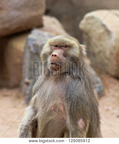 A Baboon Genus Papio with an Intense Stare