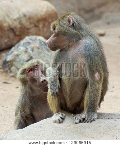 A Pair of Baboons Seemingly in Conversation with Each Other Genus Papio