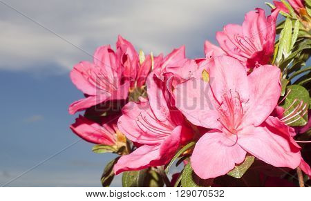 Pink and red azalea flowers in the spring with clouds and sky behind