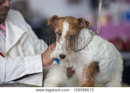 Badajoz Spain - May 8 2016: International Exhibition of dogs. Welsh Terrier under the care of its owner before the exhibition contest