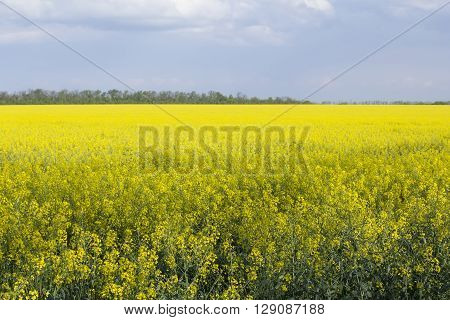 background landscape view of the bright yellow rapeseed field in May with the cloudy sky and the forest in the distance