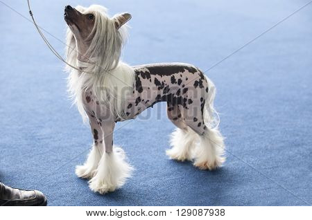 Portrait of young chinese crested dog looking up