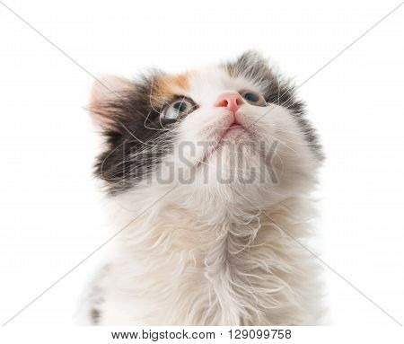little kitten on white background, interested, isolated,