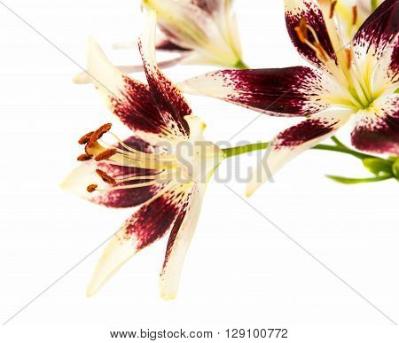 lily on a white background feminine, flora, floral,