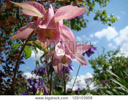 Aquilegia blooming pink flower,a genus of perennial herbaceous plants