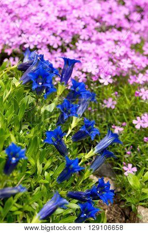 Trumpet Gentian, Blue Spring Flower In Garden