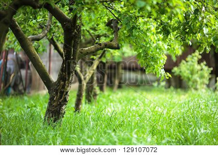 Orchard of unripe apple trees in the early summer with selective focus ** Note: Visible grain at 100%, best at smaller sizes