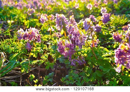 Flowers of Corydalis halleri or Corydalis solida in springtime blooming under sunset light - spring sunny landscape. Shallow depth of field. Selective focus at the central flowers.