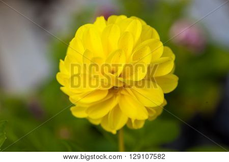 One flower yellow colour on green natural background