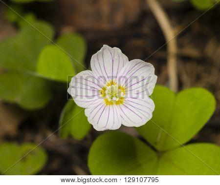 Common Wood Sorrel Oxalis acetosella flowers macro with leaves defocused selective focus shallow DOF