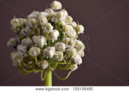 Spring Onion flower isolated against a pink background