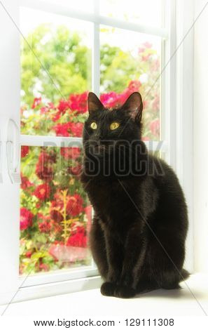 Black cat sitting at a white window with roses behind her, with a softening sunlight filter