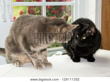 Two cats looking at each other suspiciously, in front of a window