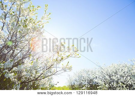 Photo Of Beautiful Cherry Blossom, Abstract Natural Background.