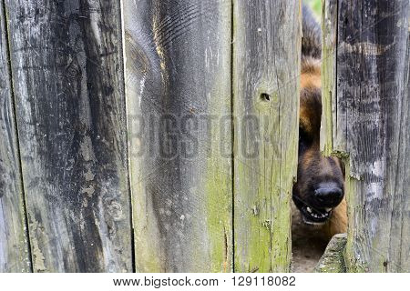 Nose of angry dog protruding through a hole in an old wooden fence