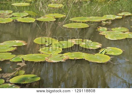 green leaves of water lilly on the water surface
