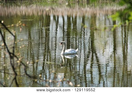 white swan swimming on the lake with dreamy reflections of trees on the calm water surface