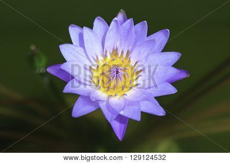 Violet lotus blooming in the pond Purple lotus flower
