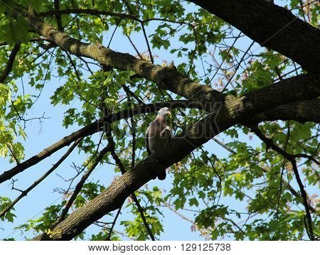 common wood pigeon sitting on the branch of a big tree