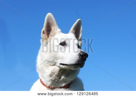detail of white dog head berger blanc suisse