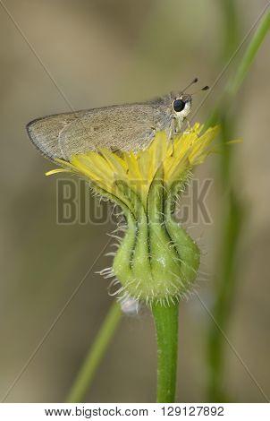 Pigmy Skipper - Gegenes pumilio Small Butterfly from Cyprus