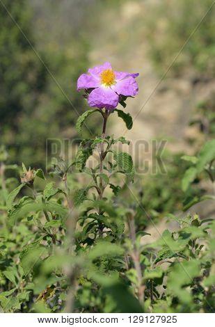 Cretan Cistus - Cistus creticus Bush with Flower