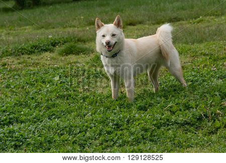 Shiba Inu looking with a joyful expression