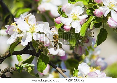 inflorescence flower apple and bee collects nectar