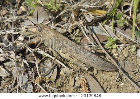 Egyptian Grasshopper - Anacridium aegyptium Large Mediterranean Grasshopper