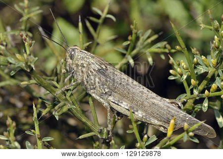 Egyptian Grasshopper - Anacridium aegyptium on Genista fasselata