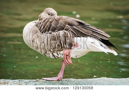 Greylag goose - Anser anser - standing on one leg and relaxes. Bird scene. Beauty in nature. Humorous scene.