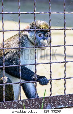 Monkey Orangutan Animal