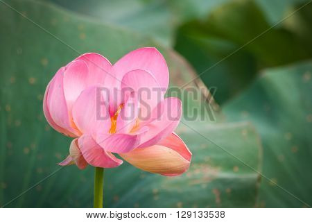 Image of Lotus flower in the delta of the Volga, Russia