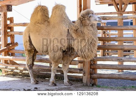 Bactrian Camel Animal