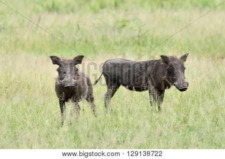 desert warthog (Phacochoerus aethiopicus) in african natural park