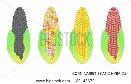 Set of vector corn varieties. Corn vector logo. Corn icon. Isolated Corn. Vegetable from the garden. Organic food. Vector illustration.