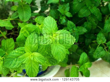 Closeup of fresh mint plant leaves with water drops growing at the balcony, selective focus