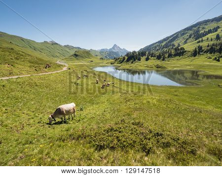 A view of cows standing near by the Kalbelesee lake surrounded by the Alpine mountains near village Schroecken in Bregenzerwald region Vorarlberg Austria