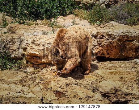 Syrian brown bear in Jerusalem Biblical Zoo or The Tisch Family Zoological Gardens Israel