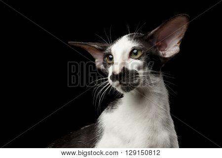 Portrait of Green Eyed White Oriental Kitten With Big Ears on Black Isolated Background