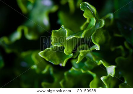 Big close-up on green leaves of kale