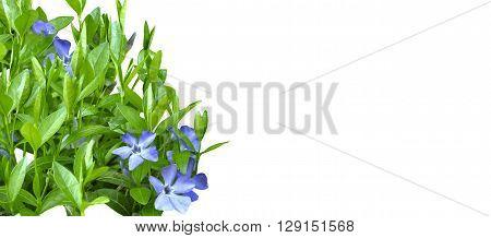 Banner  Periwinkle Violet Flowers Spring Nature