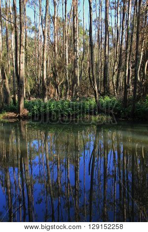 Trees mirroring in a creek. Scene in Port Maquarie Australia.