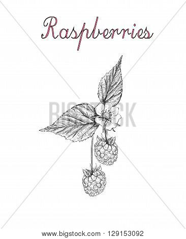 raspberry vector illustration. berries sketch. branch of blossoming raspberry